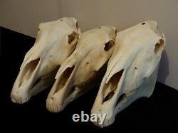 Real Horse Skull with Jaw taxidermy skeleton head bones Mari Lwyd vet study aid
